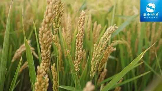 非轉基因東北大米重磅上新:朋友,你家有好米嗎?