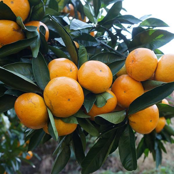 橘子1.jpeg