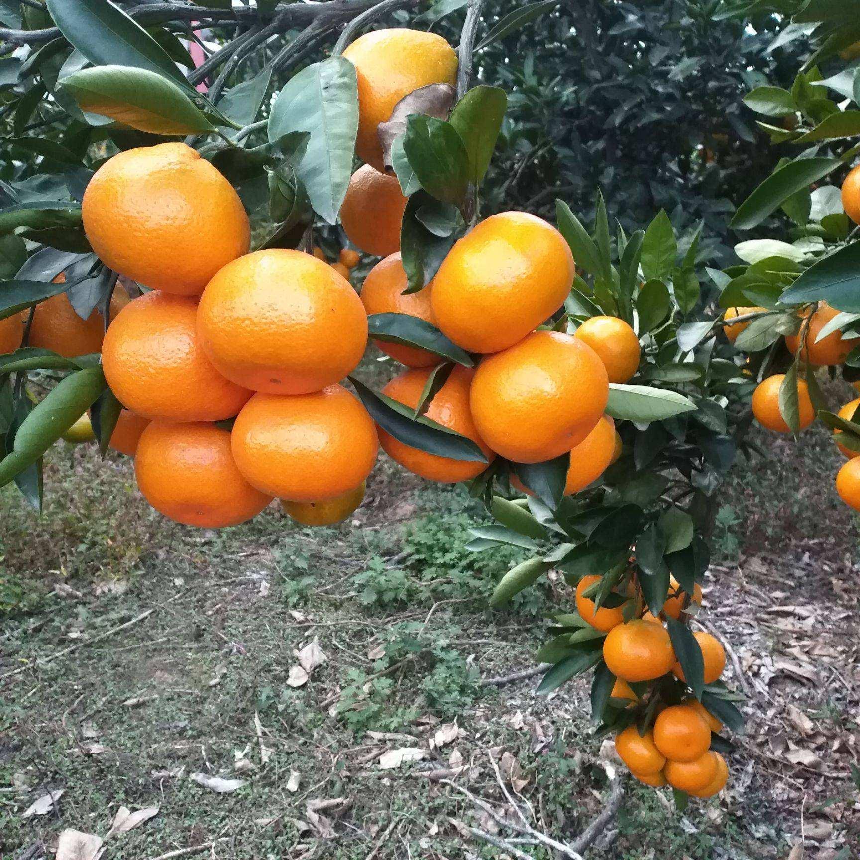 橘子3.jpg